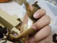 出售魔王松鼠宠物松鼠雪地松鼠黄山金花