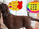 CKU认证——实物拍摄——假一赔十——拉布拉多幼犬