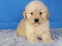 出售纯种幼犬金毛犬 可上门亲自挑选,,多只可选择,品种多