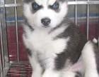 出售三火蓝眼哈士奇幼犬黑白灰色二哈雪橇犬