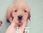 家有金毛,郑州本地可到家看狗,