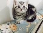 售纯种 美短猫 健康有保障疫苗做齐售后签协议质保三年