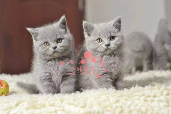 青岛哪里的蓝猫比较便宜健康 青岛什么地方可以买到蓝猫