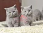 南京宠物 南京哪里的蓝猫较便宜 纯种蓝猫一般卖多少钱一只