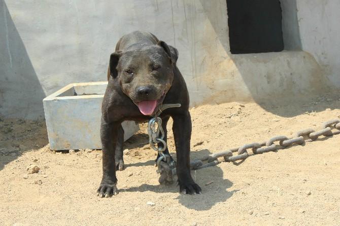 比特犬价格 比特犬多少钱 比特犬图片