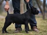 您身边的勇士.王者之气.正义化身.意大利卡斯罗犬.优秀护卫犬