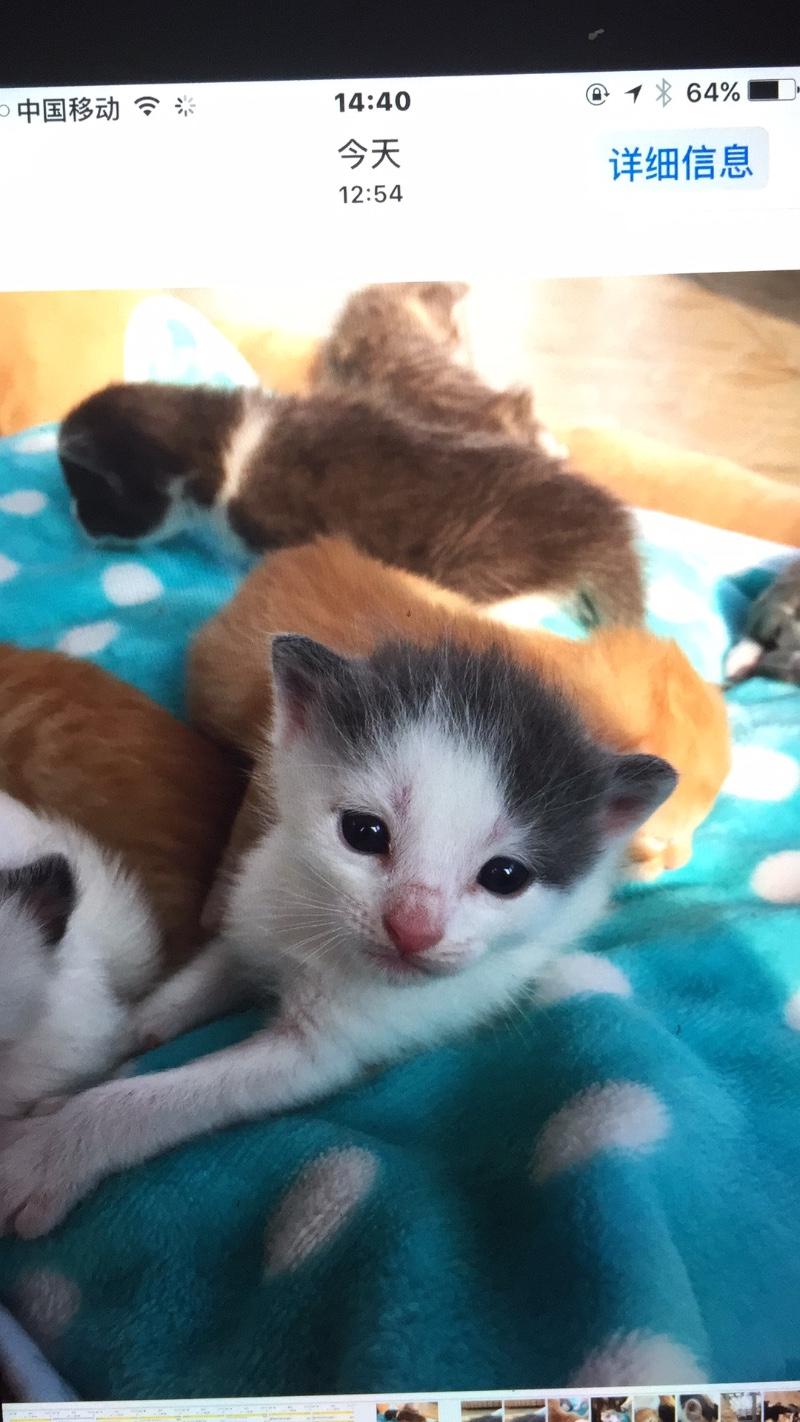 自己家养猫生小宝宝了,有兴趣的可以联系我