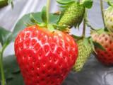 哈尔滨草莓苗批发 个性定制 价格实惠