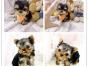 纯种健康金头银背约克夏幼犬 可送货签协议有保障