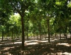 天水60公分皂角树基地专业供应商