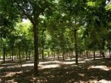 陕西20公分白蜡树基地专业种植苗木