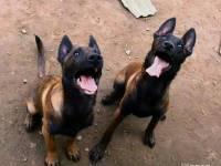 马犬怎么训练 纯种马犬 训练过的马犬哪里有出售