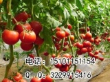 进口抗TY番茄种子|越冬进口番茄种子|优质高产番茄种子