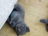 延吉自家蓝猫宝宝