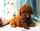 咸阳那里有泰迪犬卖 咸阳泰迪犬价格 咸阳泰迪犬多少钱