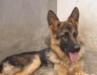 出售纯种德国牧羊犬幼犬,本犬舍的服务宗旨