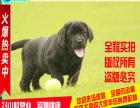 忠诚一生 拉布拉多 幼犬狗狗出售 寻回猎犬