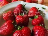 2020年草莓苗价格,山东基地草莓苗批发