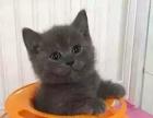 出售蓝猫 美短 虎斑 渐层 加菲 布偶全国空运