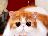 特价~!CFA甜美超大眼红白一岁加菲小种母