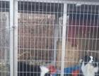 出售狗笼和边牧犬出售狗笼和边牧犬出售狗笼和边牧犬出售狗笼和边