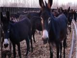 2017年养殖肉驴德州肉驴长势快抗病力强养殖效益高