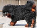 极品猛犬藏獒 保证纯种健康 认证犬舍 绝对信誉
