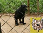 哪里出售纯双血统卡斯罗犬 纯种卡斯罗最便宜多少钱