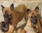 出售马犬德牧杜高幼犬3个月