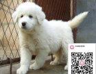 纯种大白熊狗狗出售