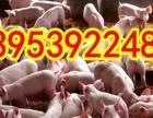 免费送猪仔,山东临沂仔猪出售山东三元仔猪,山东临沂祥龙仔猪场