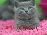 繁殖蓝猫有血统 保证健康 可刷卡 -