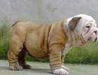 纯种的英国斗牛犬多少钱 宠物店的狗靠谱吗