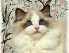 合肥哪里有布偶猫卖 海豹双色重点手套均有CFA认可多只可挑