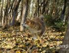 咨询本地较大的秋田犬繁殖基地多只幼崽可选 品质健康