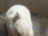 喜马拉雅侏儒兔