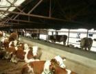 忻州养殖场肉牛的价格
