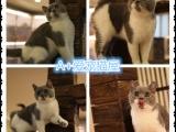 苏州本地家庭猫舍出售猫咪,健康保障,可上门挑选,签协议