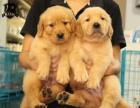 北京出售 金毛犬 保純種 三針疫苗齊全 健康血統有保障