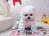 杭州出售哈多利球形博美幼犬網紅俊介/茶杯體/包純種健康
