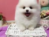 俊介博美幼犬出售专业犬舍繁殖疫苗齐全血统纯博美