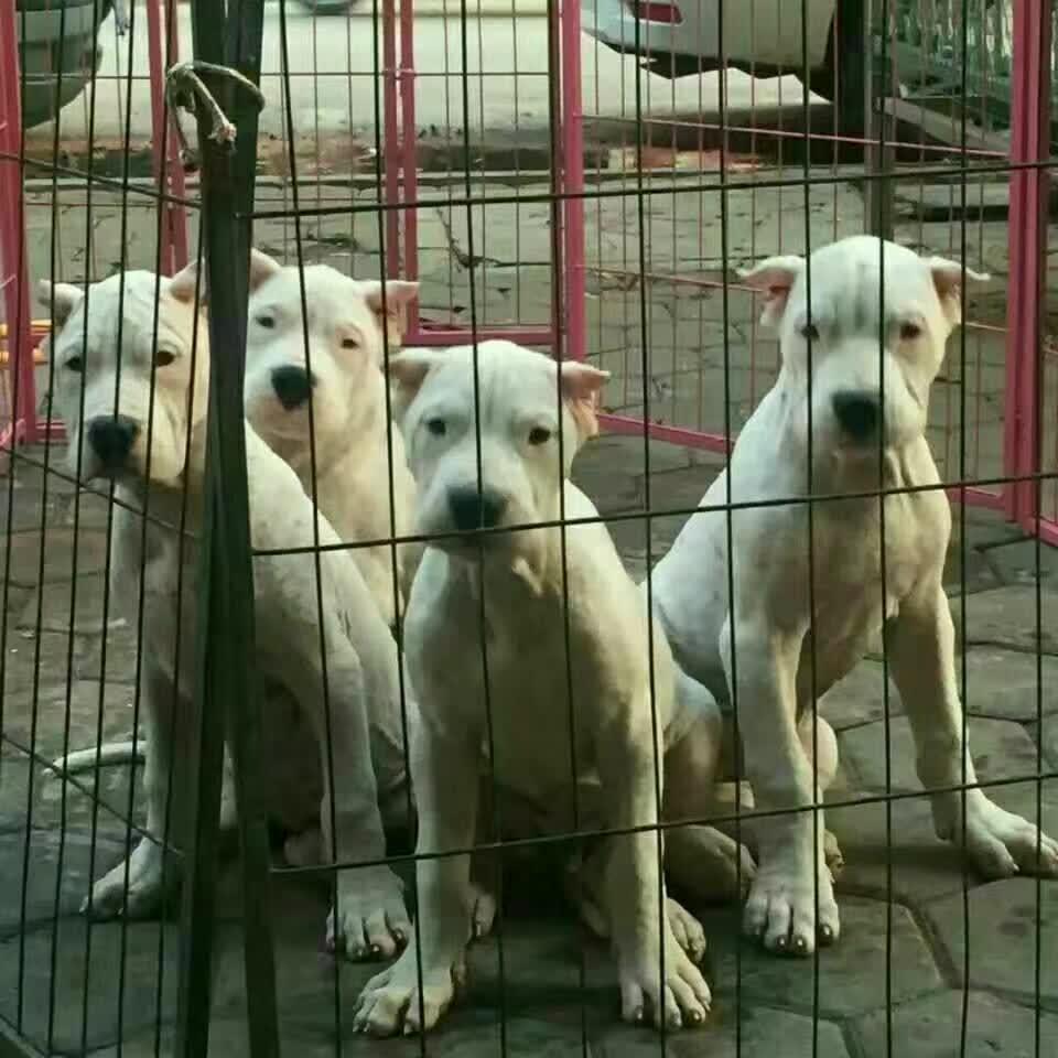 购买杜高犬怎样选择杜高犬呢