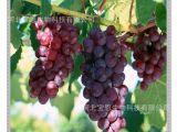 厂家现货法国进口葡萄籽提取物|原花青素95% |200克/袋 仅