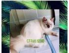 合肥CFA尚宠猫舍出售高品质布偶弟弟