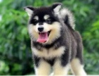精品!超帅气!阿拉斯加幼犬,熊版大骨架,疫苗齐全!