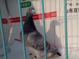 山东临沂费县上冶镇常年出售信鸽,成绩鸽,血统鸽,诚信经营