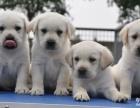 上海哪里有免費領養寵物狗 上海自家拉布拉多犬免費領養公母都有