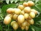 从化欢乐水果场黄皮火龙果荔枝10元/人任摘任吃