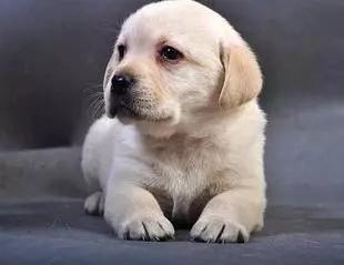 神犬小七那么萌的同款拉布拉多 三色可选 保健康包纯