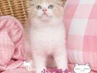 太原苏格兰折耳猫 蓝白折耳 蓝猫折耳 渐层折耳(包纯种健康)